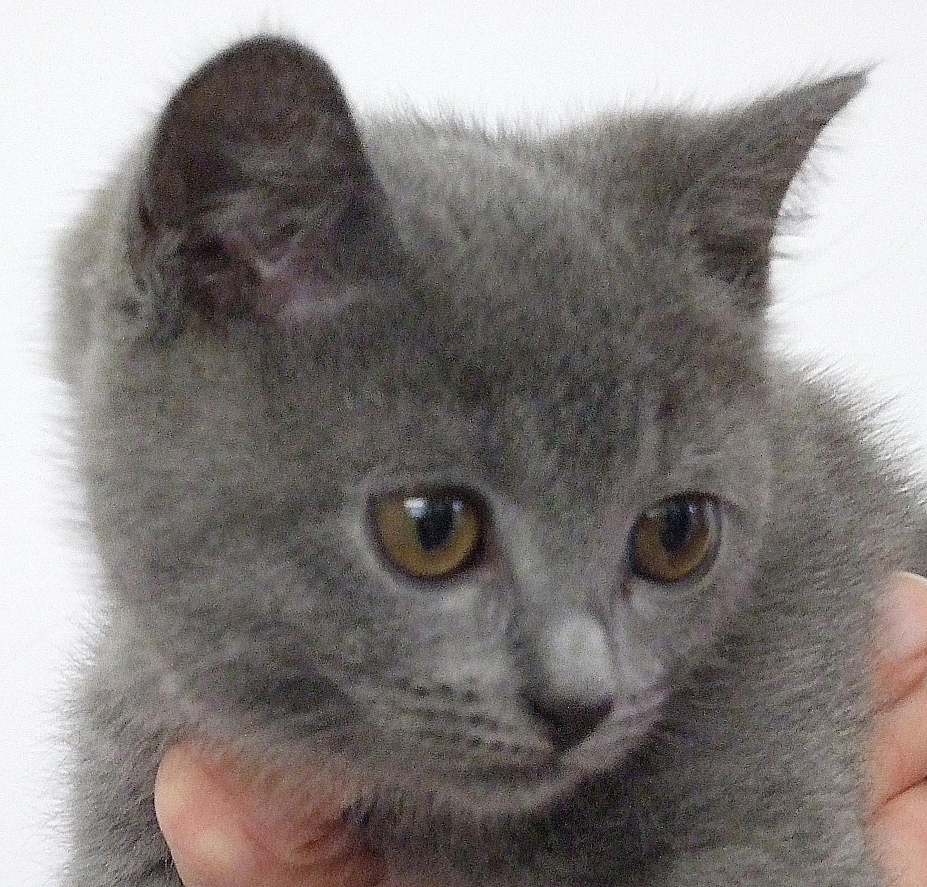 Chartreux Cat Breeders Uk
