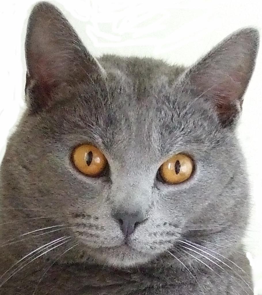 chartreux cat club uk